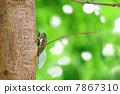 cicada, cryptotympana facialis, bug 7867310