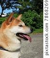 japanese dog dogs 7868269