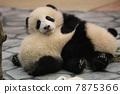 panda, pandas, Giant 7875366
