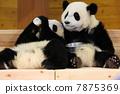 panda, pandas, Giant 7875369