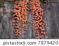 ivy, nature, natural 7879420