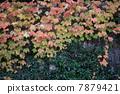 ivy, nature, natural 7879421