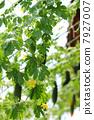 มะระ,ใบไม้,สวนครัว 7927007