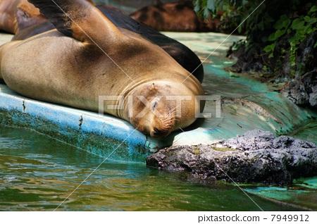 California sea lion 7949912