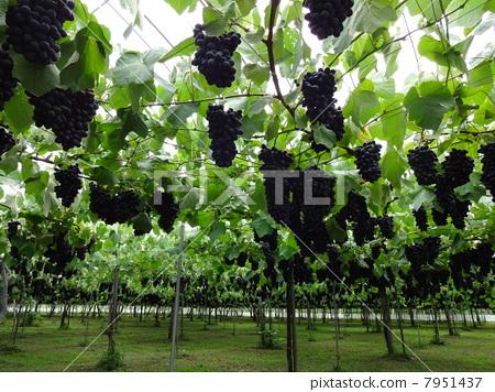 葡萄(品种:布法罗) 7951437