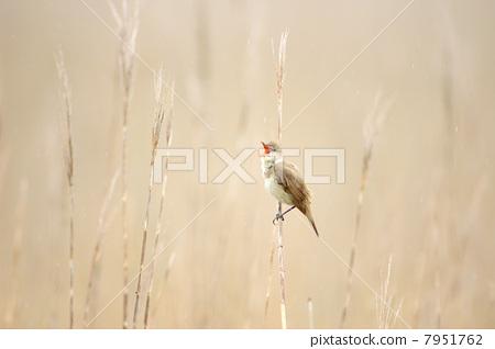 The song of the marsh Ooyoshikiri 7951762