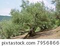 橄榄树 树 树木 7956866