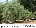 树 树木 橄榄树 7956867