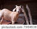 小山羊 雪羊 一 7964638