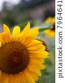 向日葵 花朵 花卉 7964641