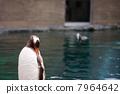 巴布亚企鹅 企鹅 鸟儿 7964642
