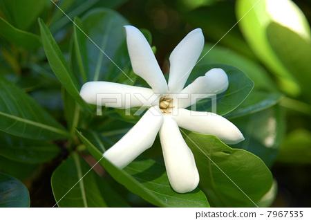 Tiare Tahiti's white flower of Tiare Tahiti 7967535