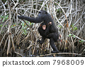 Chimpanzee with a cub. 7968009