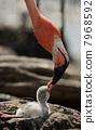Baby bird of the Caribbean flamingo. 7968592