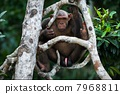Chimpanzee on a tree. 7968811