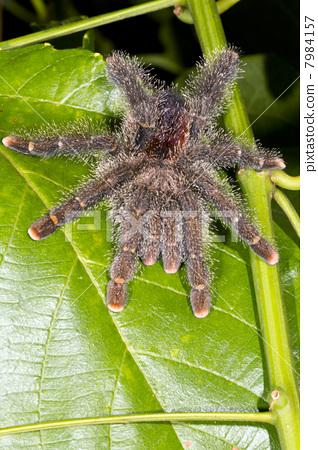 Large tarantula on a leaf in rainforest, Ecuador 7984157