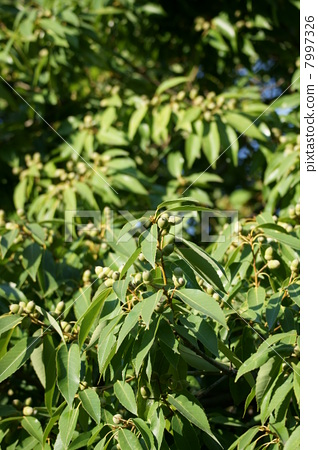 It is a good harvest of the White Oak acacia. 7997326