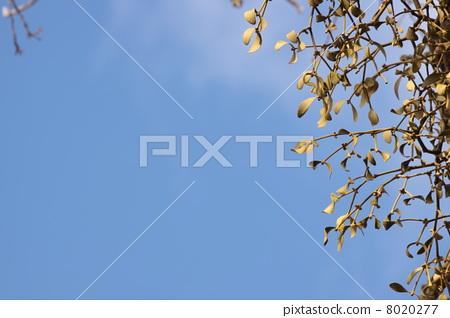 Close-up of a bunch of mistletoe (Viscum album) 8020277