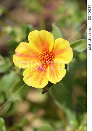 Porchula (flower sliding hui) 8040089