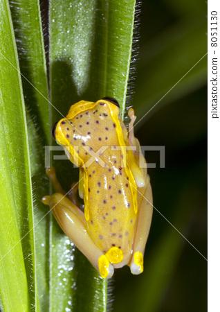 Upper Amazon Treefrog (Dendropsophus bifurcus), Ecuador 8051130