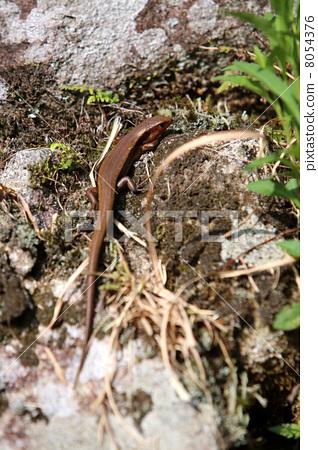 Ishigaki's lizard vertical 8054376