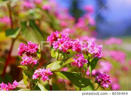 붉은 메밀 꽃 꽃말 : 당신을 구원 Flowers of red buckwheats 8056464