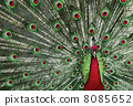 feathers, peacock, colorful 8085652