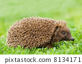 wildlife hedgehog animal 8134171