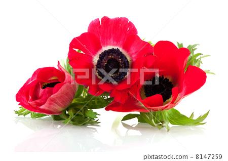 Red Anemones 8147259