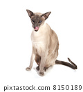 สัตว์เลี้ยง,วิเชียรมาศ,แมว 8150189