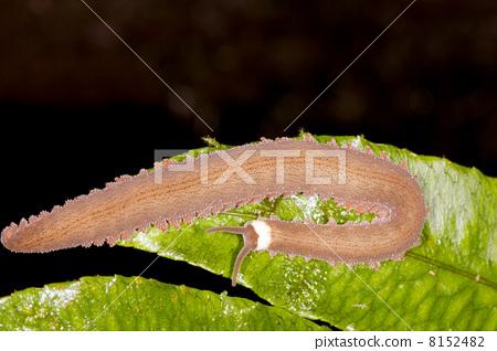 Velvet Worm or Peripatus on a leaf in rainforest, Ecuador 8152482