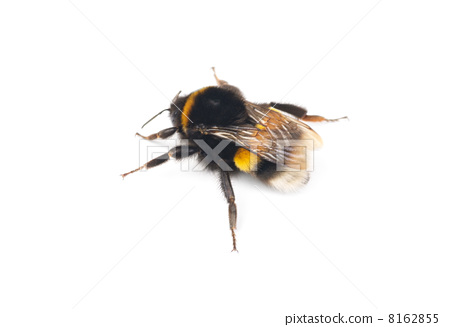 bumblebee isolated on the white background 8162855