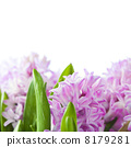 Beautiful Hyacinths 8179281