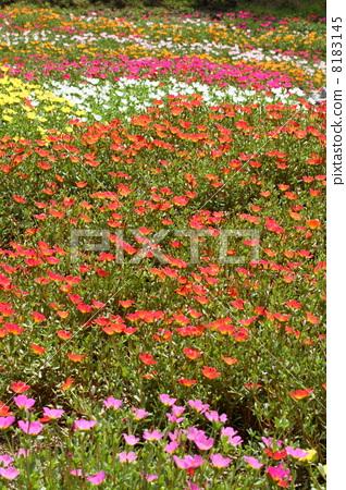 Flower bed of porchlaka 8183145
