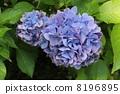 開花 花卉 繡球花 8196895