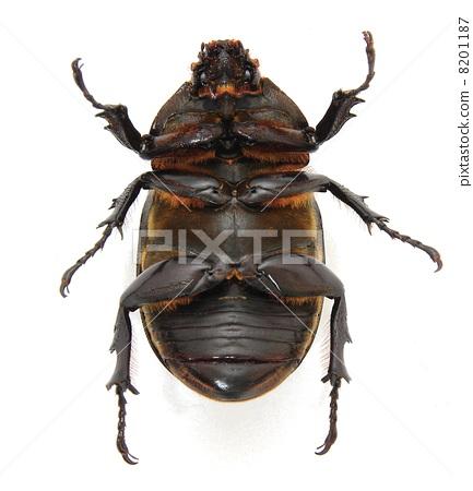 rhinoceros beetle stomach king stock photo 8201187 pixta
