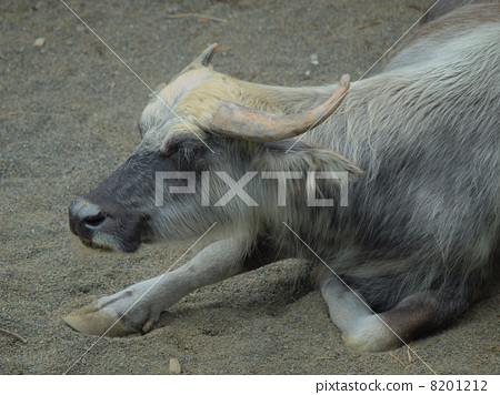 Resting water buffalo (livestock female female) 8201212