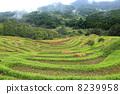 其它植物 梯田 水稻豐收 8239958