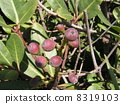 Unripe fruit is a red Charing-Big tree 8319103