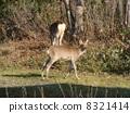 Shiretoko Deer 8321414