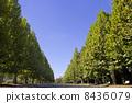 法國梧桐Namiki和藍天 8436079