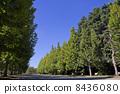 法國梧桐Namiki和藍天 8436080