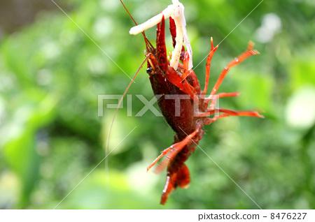 American crayfish 8476227