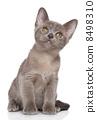 Burmese kitten portrait 8498310