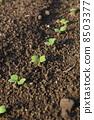 發芽 子葉 日本芥末菠菜 8503377