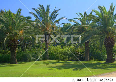 Blue Sky and Phoenix: Canary palm 8503398
