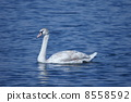swan, mute, shorebird 8558592