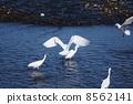苍鹭 大白鹭 鸟儿 8562141