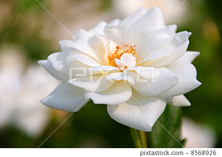 Great white roses 8568926
