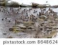 Hidorigamo และ mallards ของแม่น้ำ Chitose 8648624